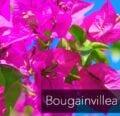 ¿Cuál es el mejor fertilizante de buganvillas?