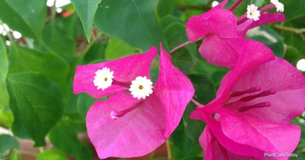 Bougainvillea flower - what is the best soil for growing Bougainvilleas?