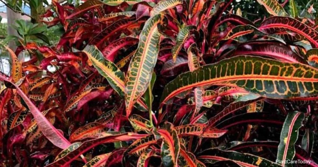 Colorful croton plants do experience diseases