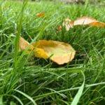 ¿Cuándo debe dejar de cortar el césped en otoño?