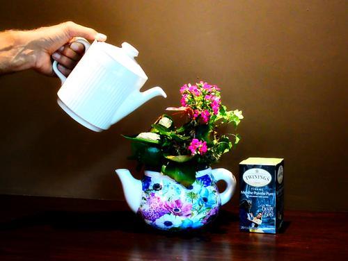 Is Tea a Good Fertilizer for Houseplants?