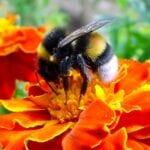 ¿Están muriendo las abejas nativas?  - Mitos del jardín