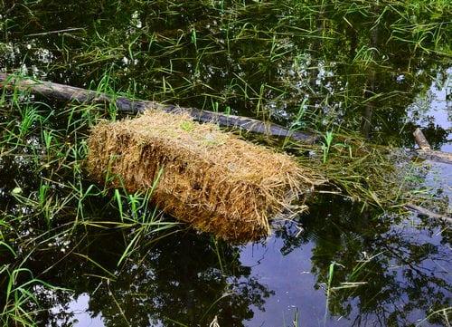 Does Barley Straw Stop Algae Growth in Ponds?