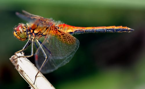 Do Plants Attract Dragonflies to Your Garden?, photo by André Karwath