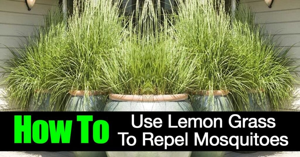 lemon grass planted in containers used to repel mosquitos