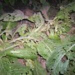 ¿Por qué mis hojas de mostaza se están muriendo y están llenas de agujeros?  ⋆ Gran blog de jardinería
