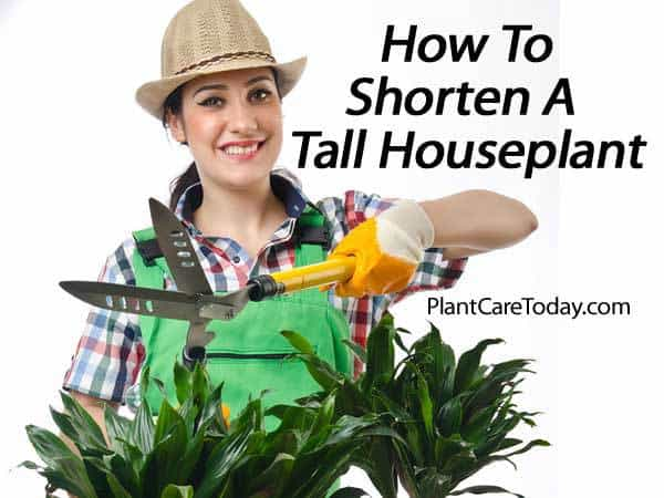 It is possible to cut back tall Dracaena species (corn plants) and other indoor houseplants that grow too tall