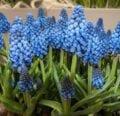 ¿Puedes forzar que los bulbos de flores de primavera al aire libre florezcan antes? [YES]