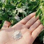 ¿Qué es la Tierra de Diatomeas (DE)?  Cómo funciona como insecto / plaga