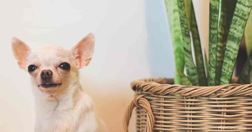Portrait of white short hair chihuahua dog sitting by the basket of Snake plant (Sansevieria)