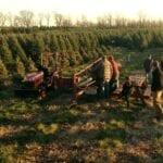 """¿Su árbol de Navidad recién cortado es realmente """"verde""""?  ⋆ Gran blog de jardinería"""