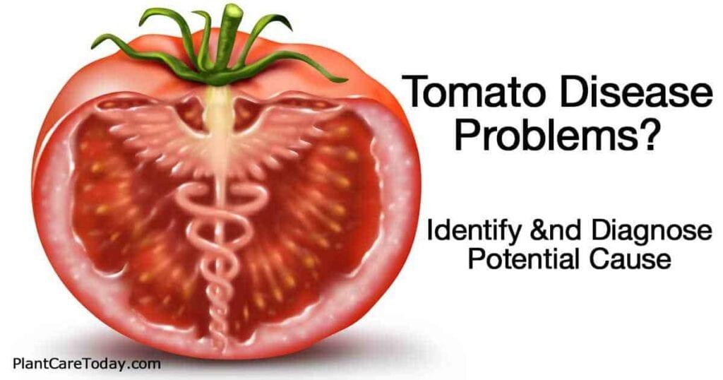 cross section of tomato disease