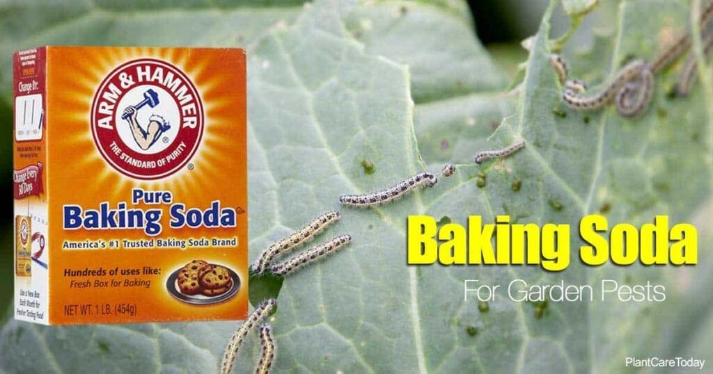 baking soda can control garden pests