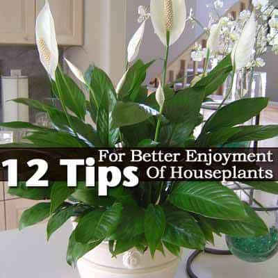 Blooming peace lily houseplant