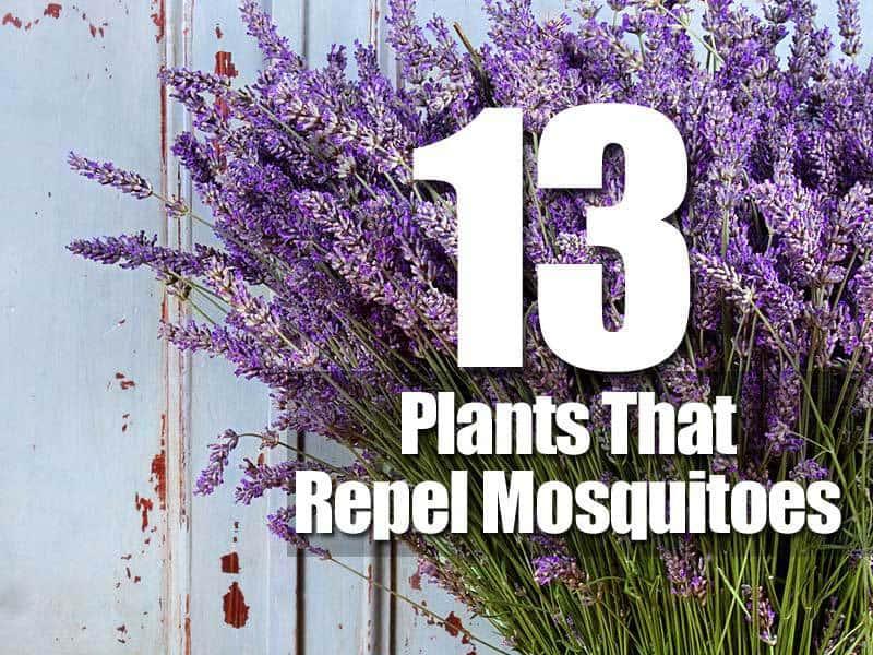 13 plantas que repelen a los mosquitos