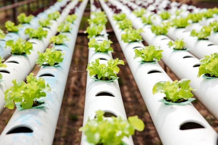 15 lechugas y hojas verdes que debes tratar de cultivar hidropónicamente