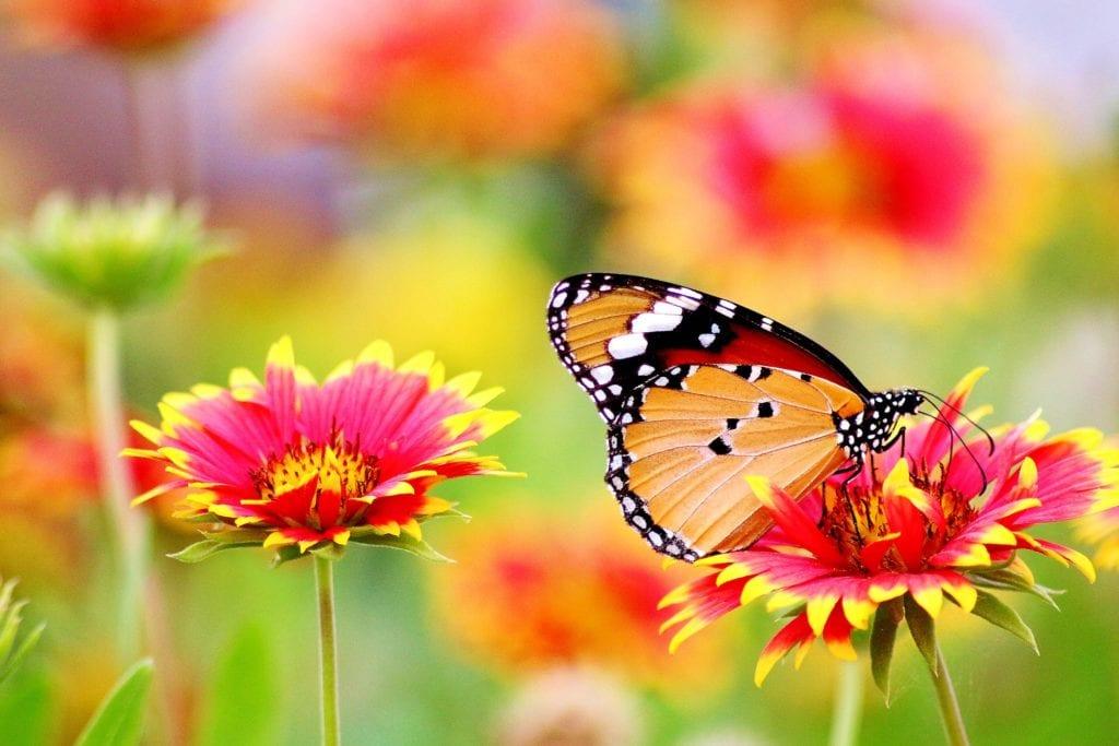 Mariposa sentada sobre una flor rosa y amarilla
