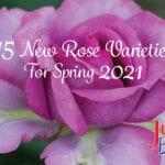 15 nuevas variedades de rosas para la primavera de 2021