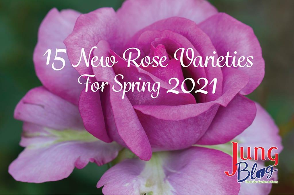 15 rosas nuevas