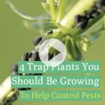 4 plantas trampa que debes cultivar para ayudar a contener las plagas
