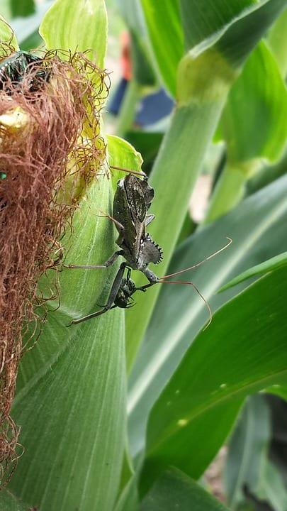 5 insectos depredadores nativos del sureste de EE. UU.