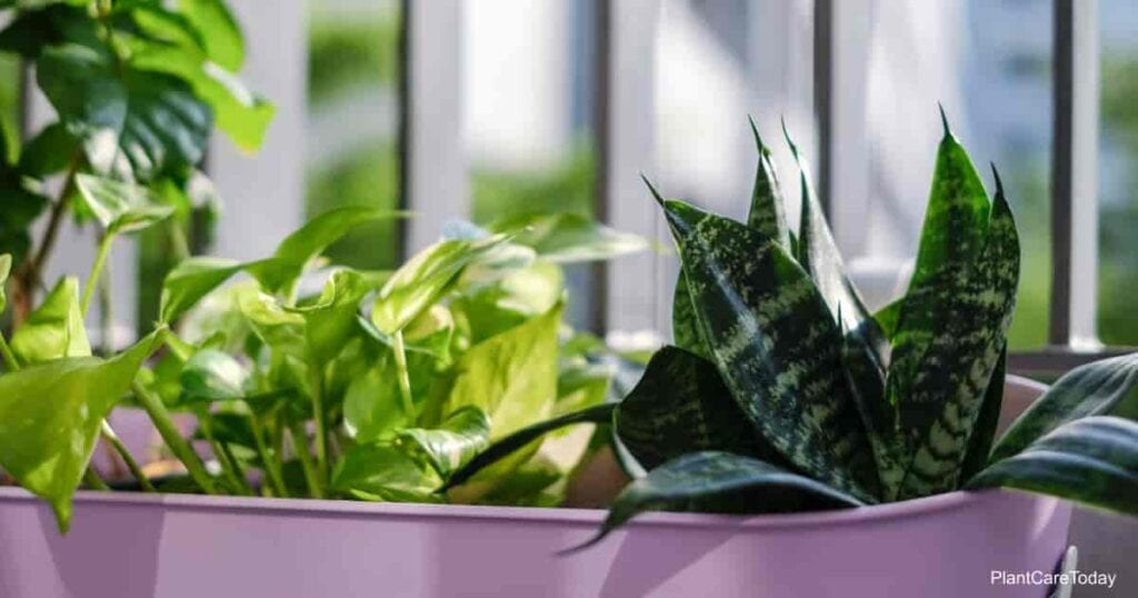 pothos and snake plants in a window planter are excellent choices for an apartment