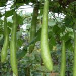 6 variedades cultivadas en Monticello