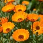 7 Razones para Crecer Caléndula Officinalis