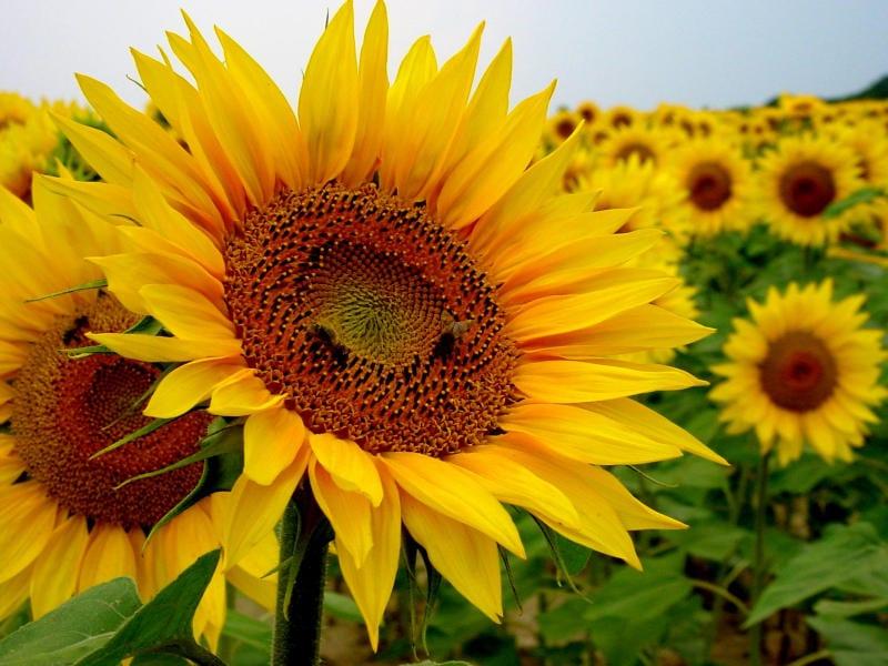 8 razones para cultivar girasoles perennes