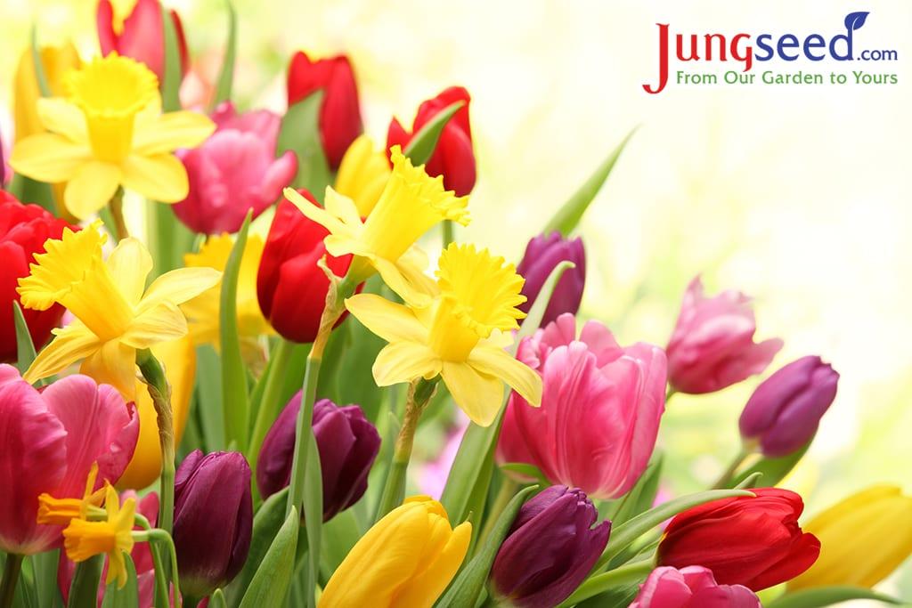 Tulipanes y narcisos coloridos
