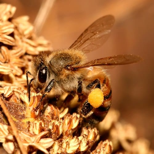 Is this a honey bee or native bee?