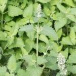 Acerca de la hierba gatera |  Cómo cultivar hierba gatera - estiercoles