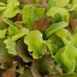 Acerca de la lechuga de hoja pequeña - estiercoles