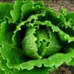 Ahorro de semillas de lechuga |  Intercambio de semillas de exposición al sur