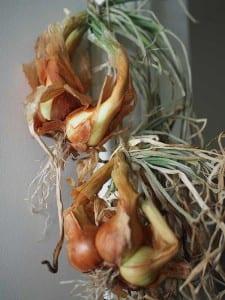 Ajo y cebollas perennes (multiplicadores): cosecha y maduración