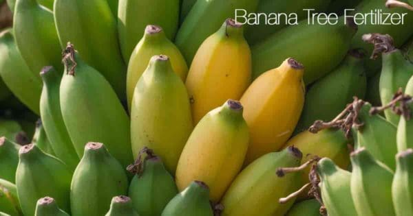los plátanos en el árbol comienzan a madurar