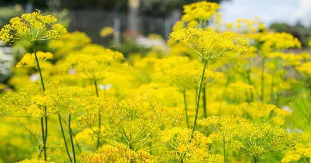 Flowering Dill Anethum Graveolens