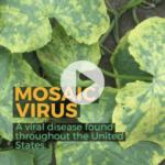 Aprenda a reconocer y prevenir el virus del mosaico en su jardín