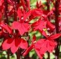 Aprenda un cuidado impresionante con la Lobelia Cardinalis roja