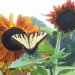 Aquí viene el sol (flores) ... |  Intercambio de semillas de exposición al sur