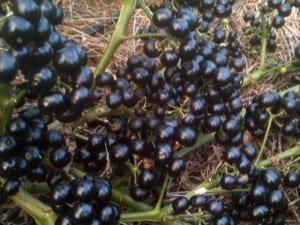 Arándanos de jardín: una gran fruta para mermeladas