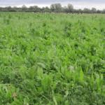 Aumento de la materia orgánica y la biología en los sistemas pastorales - Descanso sabático