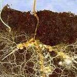 Bacterias que ayudan a las micorrizas