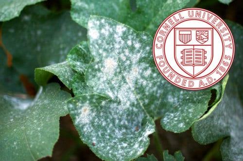 Baking Soda, a Home Remedy Fungicide - the Cornell Formula