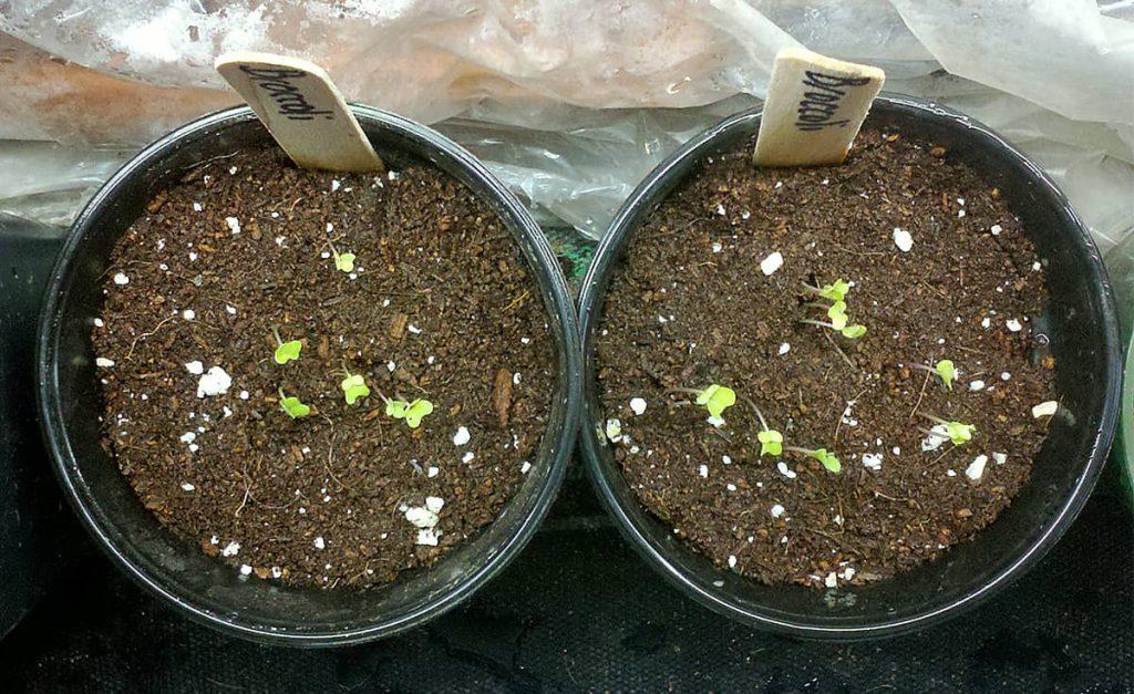 Calculadora gratuita de inicio de semillas y calculadora de plantación de jardines