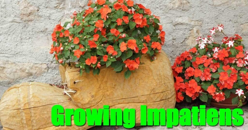 growing-impatiens-06302015