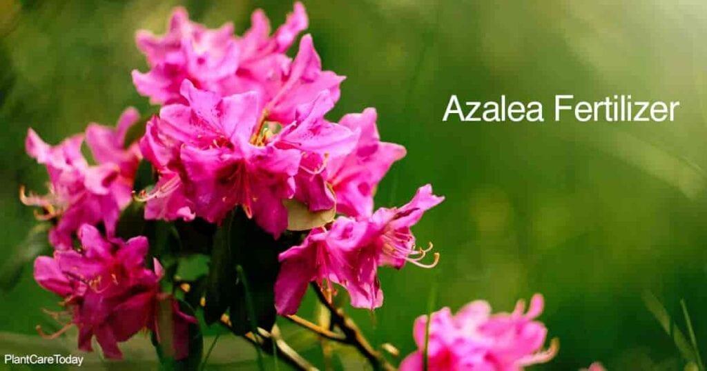 Azalea floreciendo con muchas flores.