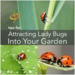 Cómo atraer mariquitas beneficiosas a tu jardín