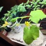 Cómo conseguir verduras y semillas de flores en interiores