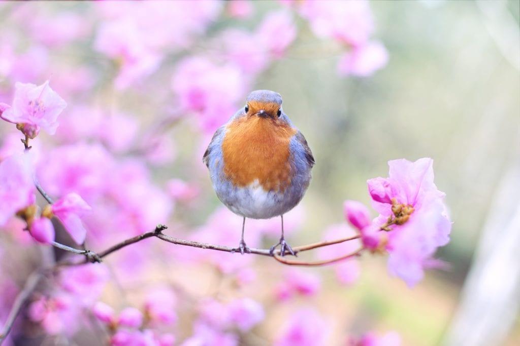 Un pájaro azul y marrón sentado en un árbol de flor rosa